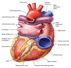 Heart (Posterior View)