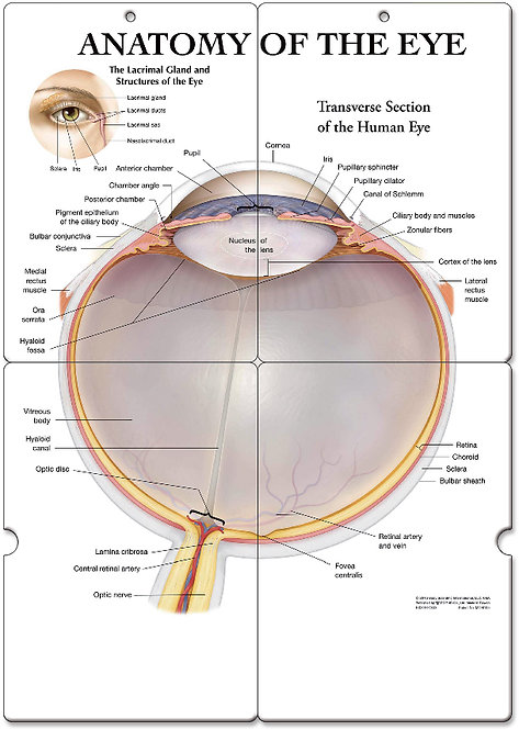 Anatomy of the Eye - Anatomical Folding Board Chart