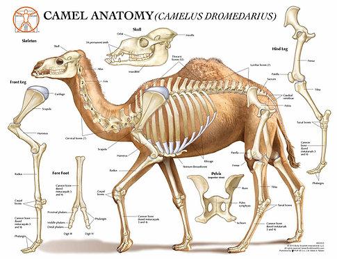 Camel Anatomy - Veterinary Wall Chart