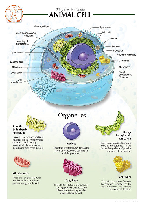 Animal Cell - Biological Wall Chart