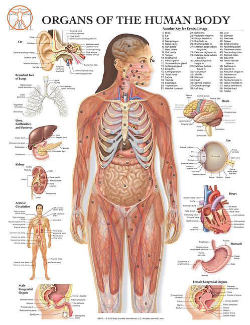Organs of the Human Body - Anatomical Wall Chart