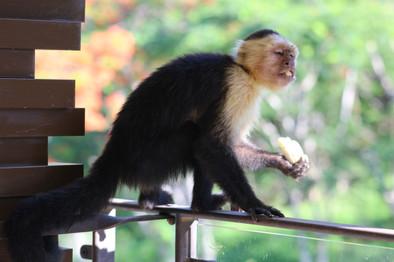 Monkey and a Banana