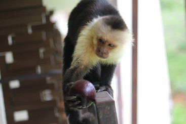 Monkey and an Apple
