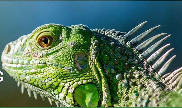 ARAV iguana head.JPG