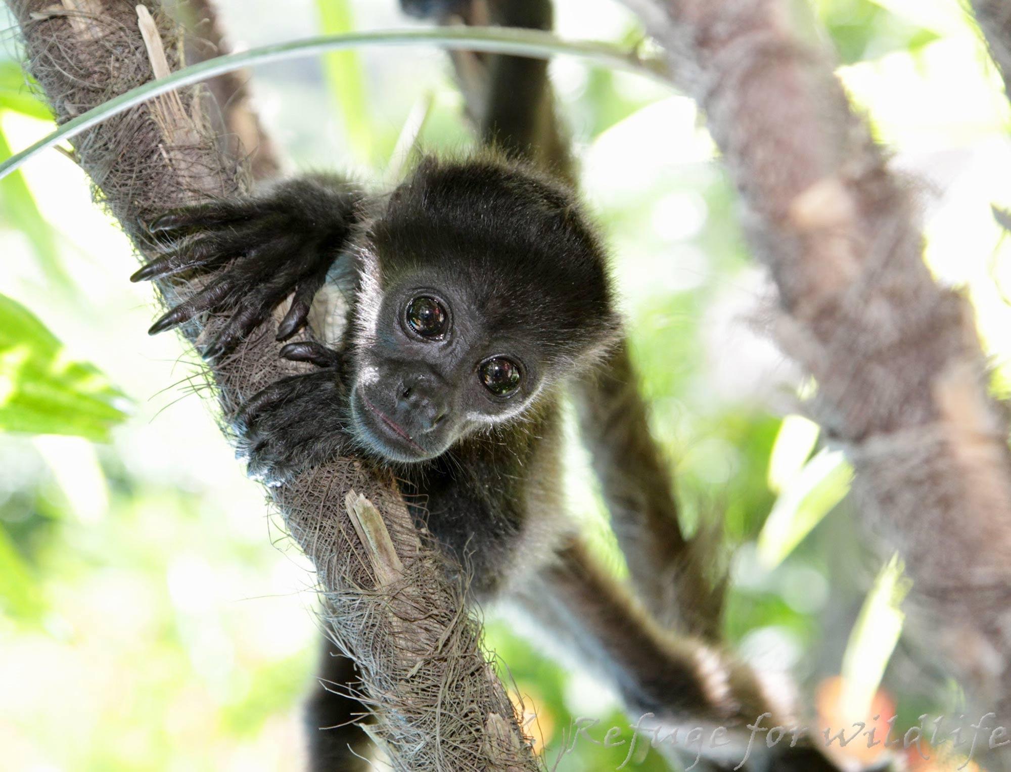 Monkey-Rescue-Nosara-Costa-Rica-1