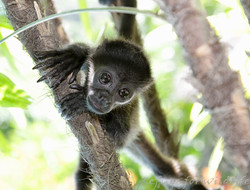 Monkey-Rescue-Nosara-Costa-Rica-1