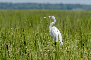White heron in salt marsh .jpg