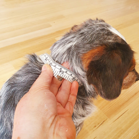 How to Measure you Dogs Neck & Choose a Collar Size
