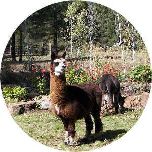 Alpaca Care & Shearing