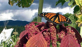 Monarch butterfly on blossoms in garden.
