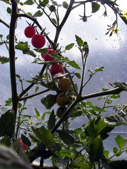 CLR-GardensTomatoesInTheHoopHouse2K151005ForWeb1