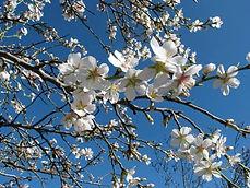 Amandier en fleurs par Bea.jpg