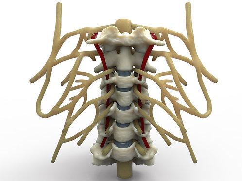 Cervical Plexus 3840 X 2989 300 dpi