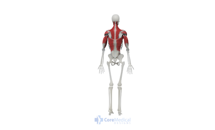 Upper Body Posterior View Final