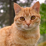 nature-animal-cute-pet-orange-cat-105801