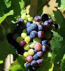 Wine words: Veraison