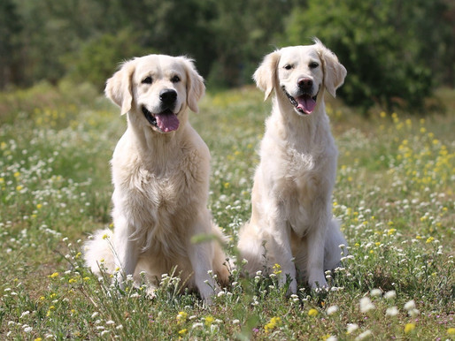 Ashley und Scarlett - perfekte Welpen-Eltern!