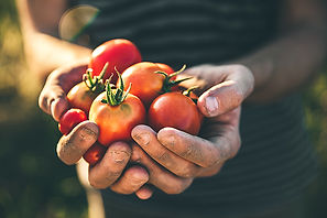 farmer-holding-fresh-tomatoes-at-sunset-