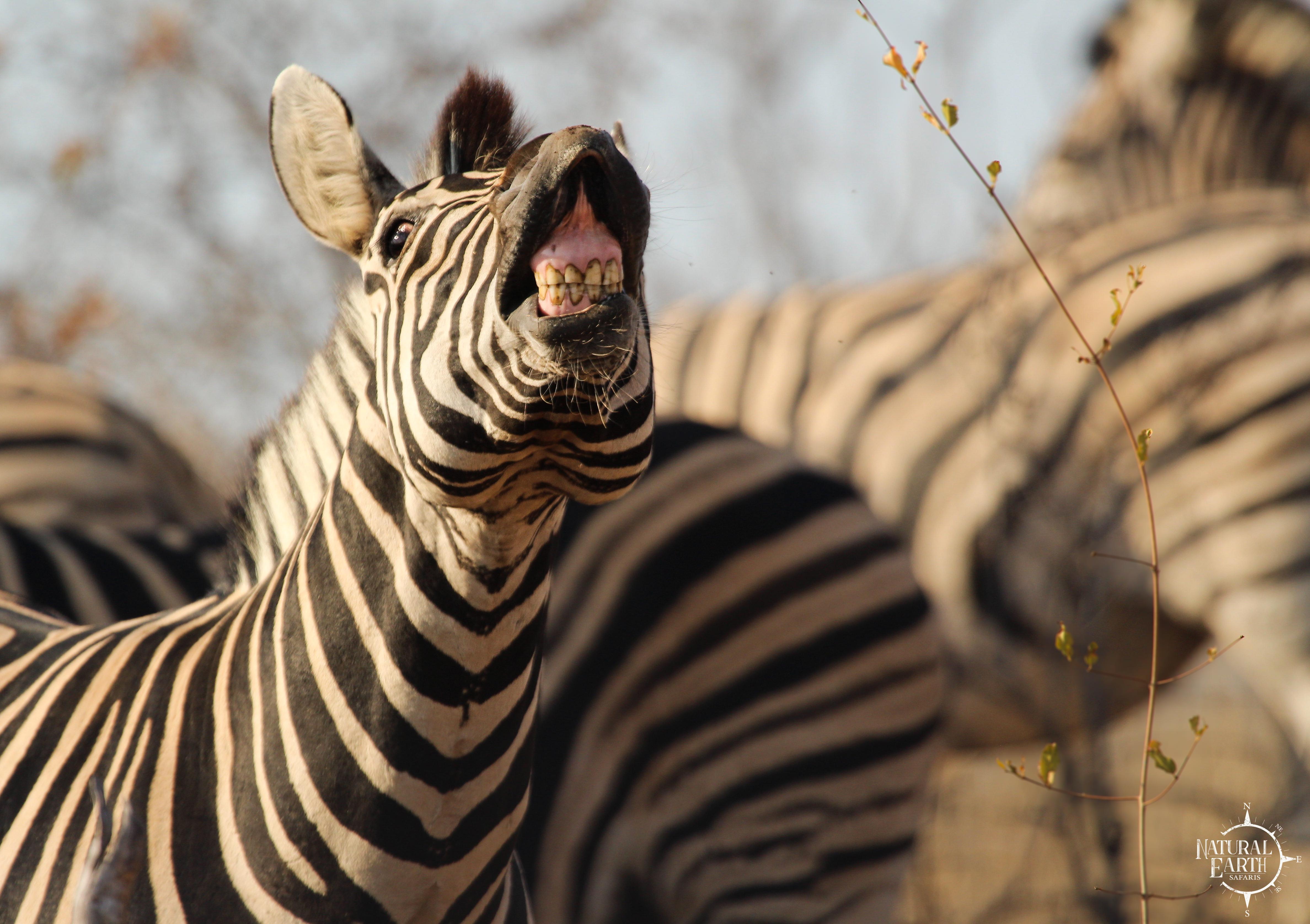 Zebra Smile