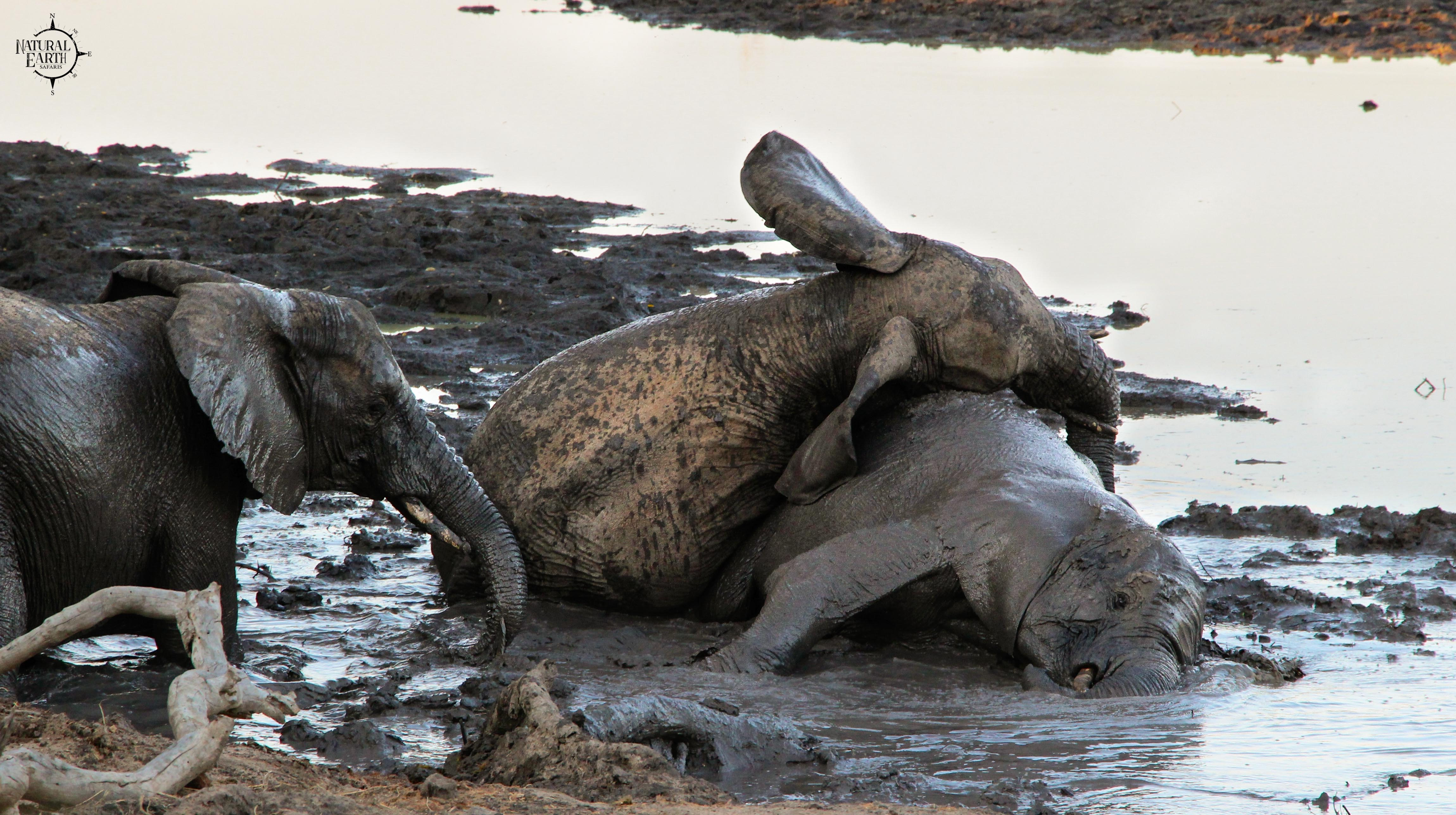 Elephant playing in the mud