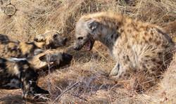 Wild Dog vs Hyena