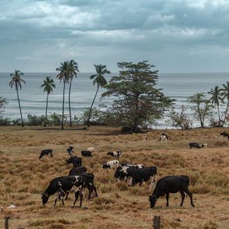 Happy cows live in Puerto Rico