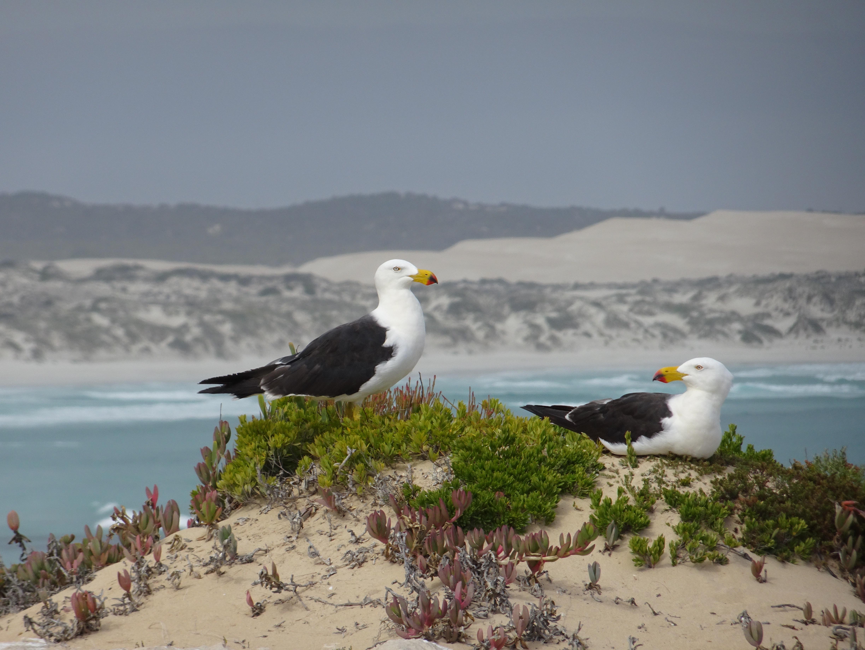 Nesting Pacific Gulls