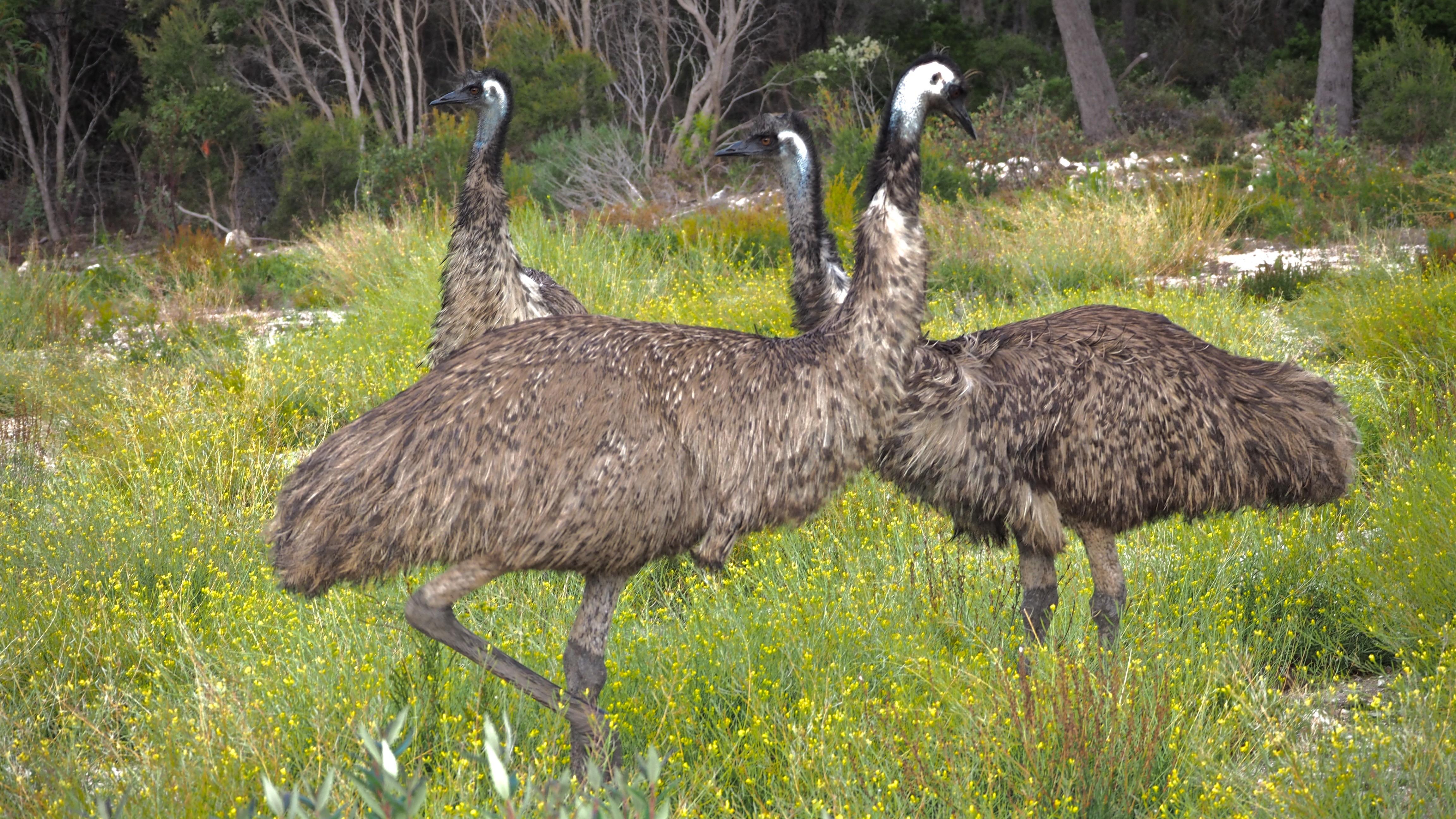 Emus Emus Emus