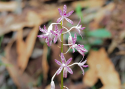 wild native orchids