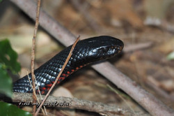 Red Belly Black snake