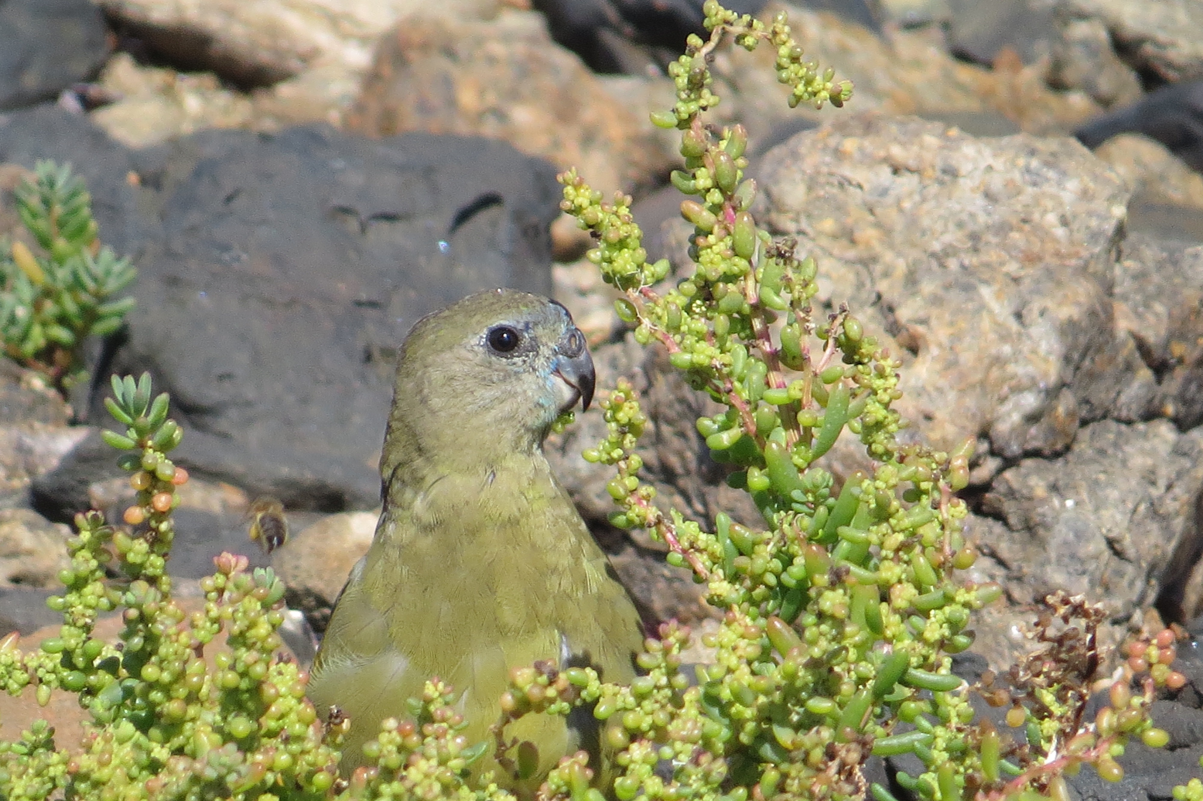 Rock Parrot