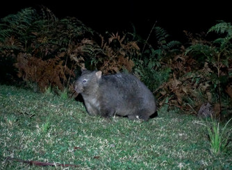 Kangaroo Valley-A Wombat's Ramble