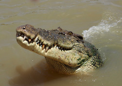 Curious Salt Water Croc