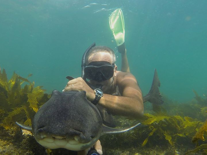 Port Jackson Shark at Jervis Bay