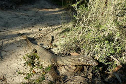 Monitor/Goanna at Loftus