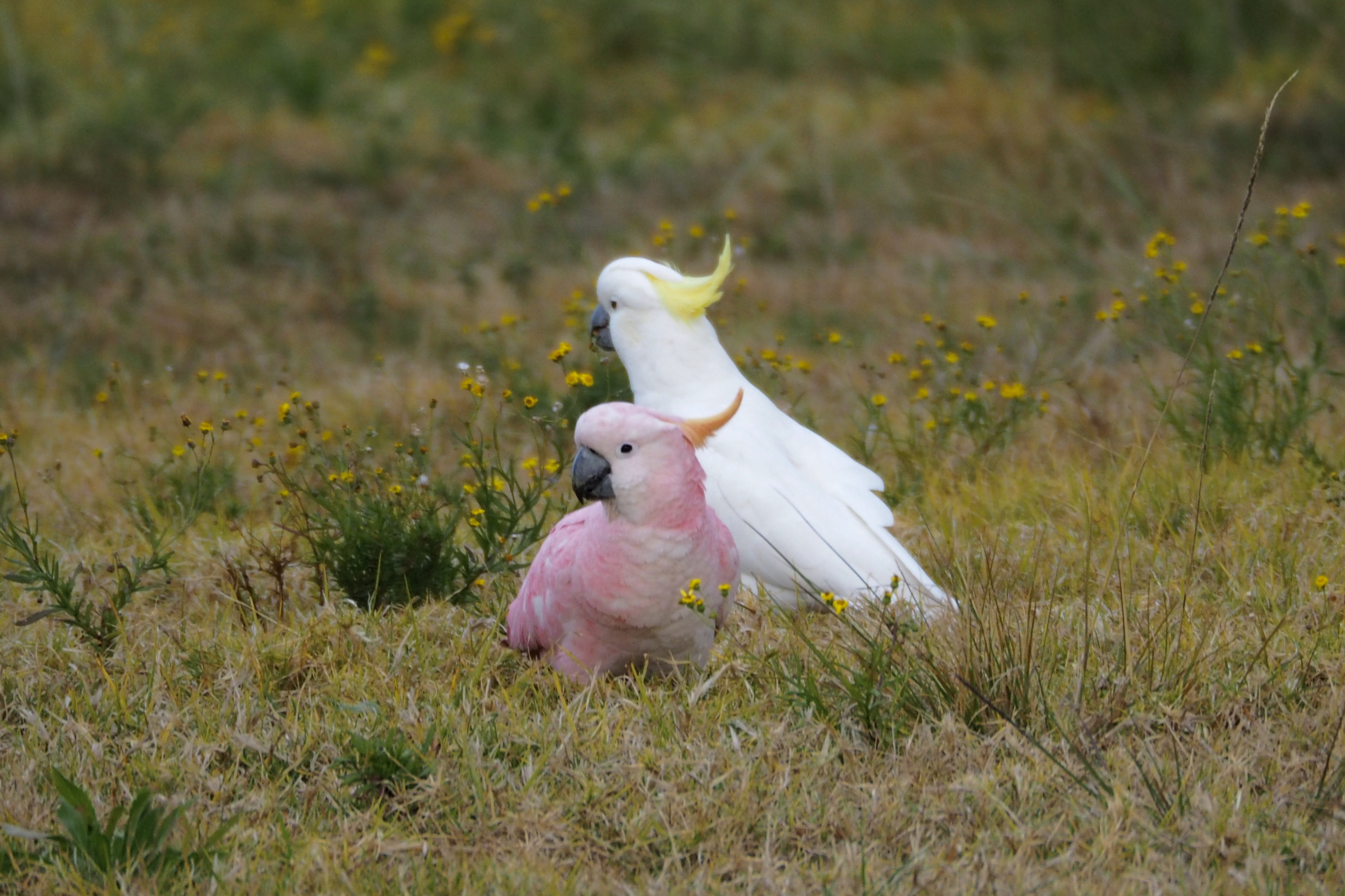 Pink Cockatoo ??