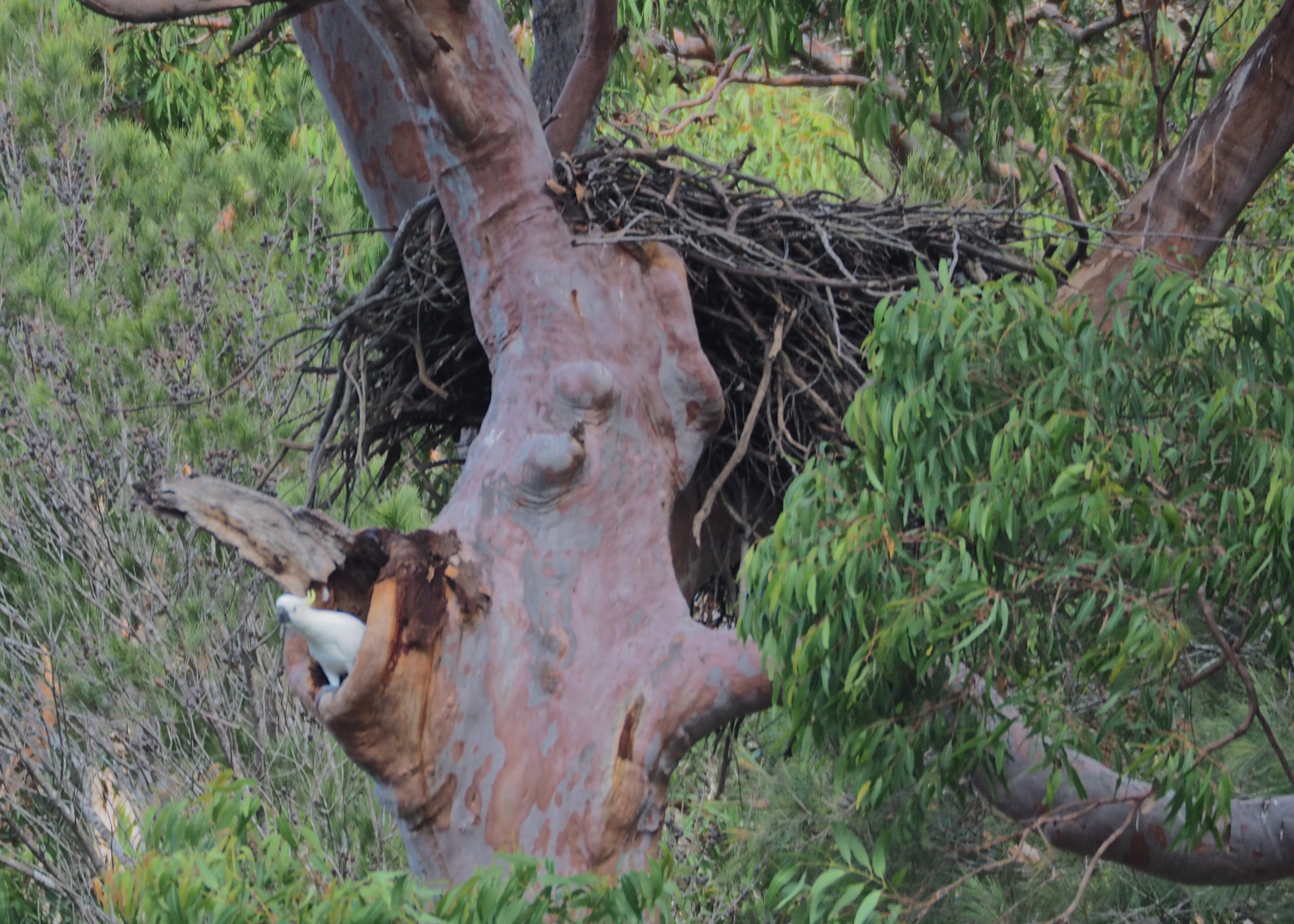 Sea eagle nest