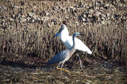 Royal Spoonbill +White Faced Heron