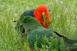 King Parrots