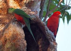 Nesting King Parrots