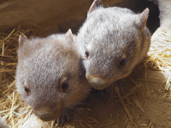 Rocklilly Wombats
