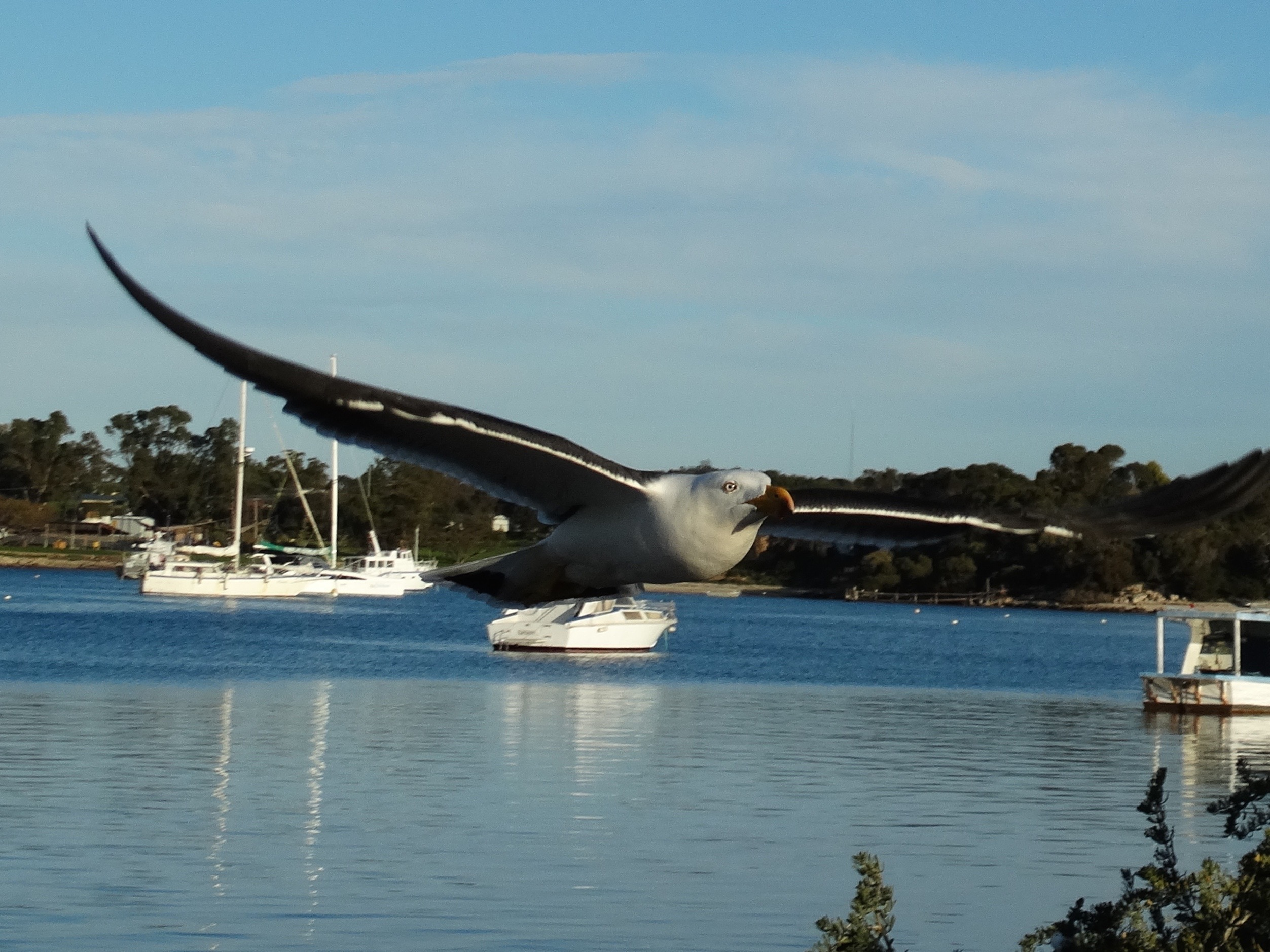 Large Pacific Seagulls