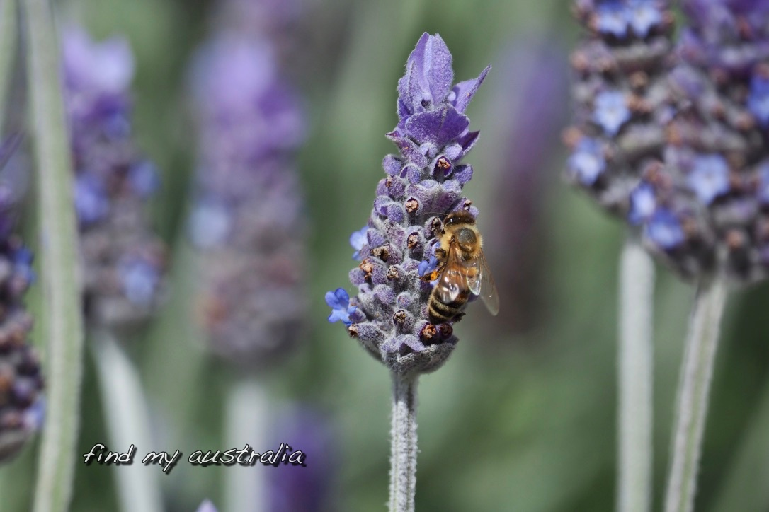 Nectar from Lavender