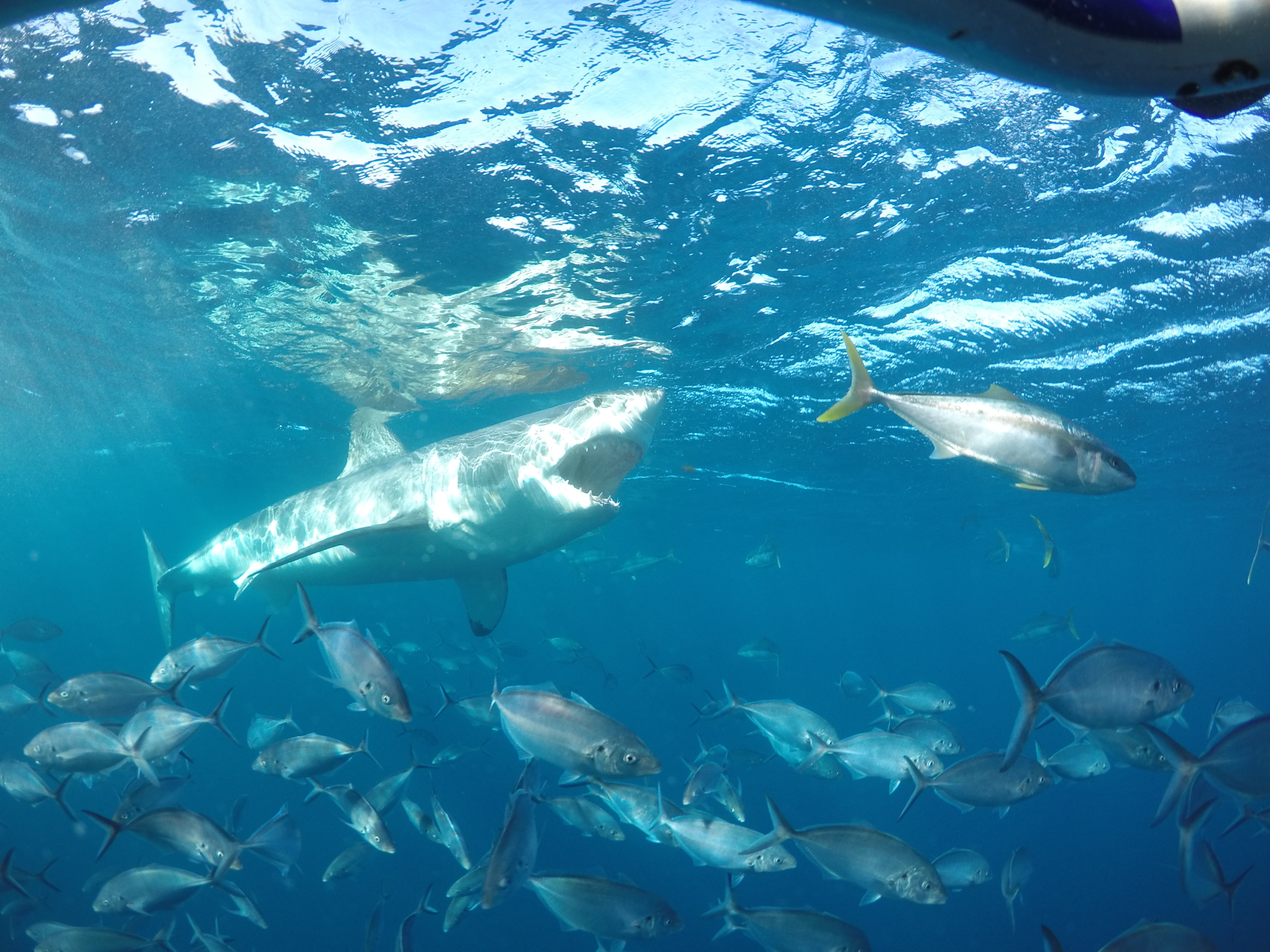 Cage dive with Great Whites