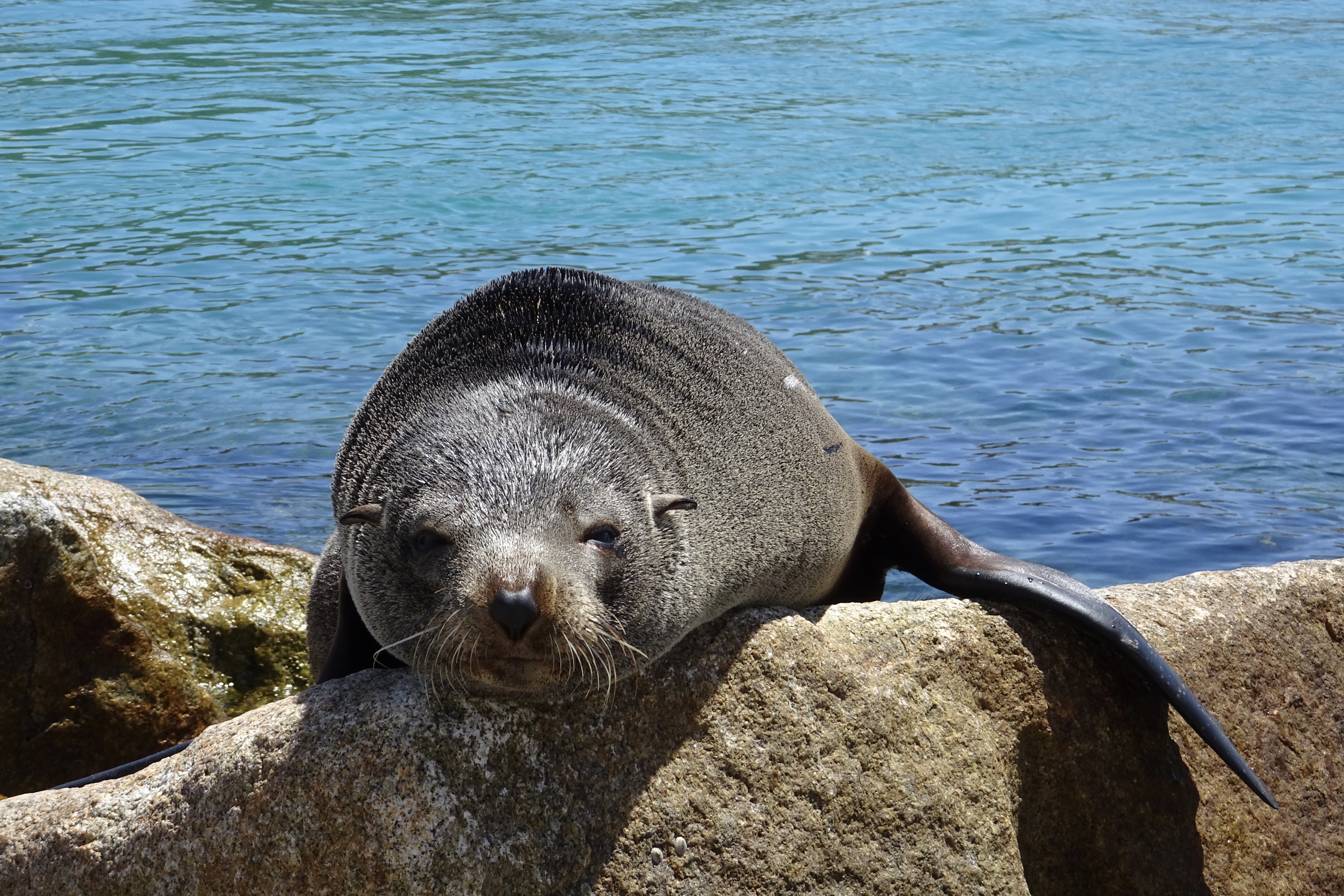 One lazy fur seal