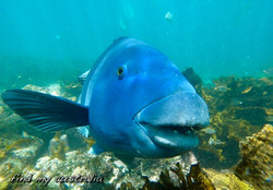 Blue Groper (male)