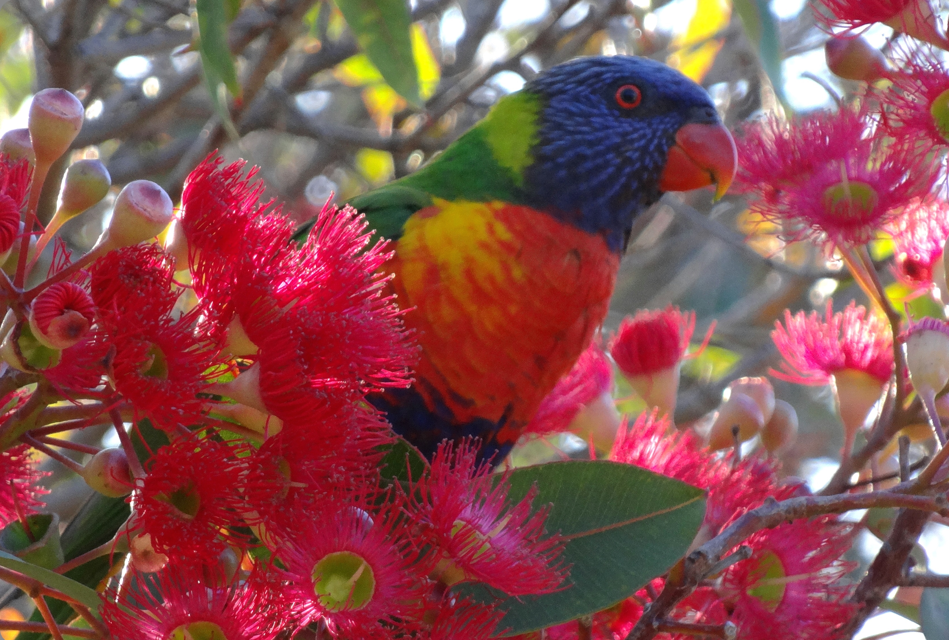 Lorikeets blend into the flowering West Australia Gumtree