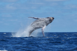 Humpback Breaches