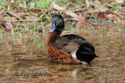 Chestnut Teal Duck