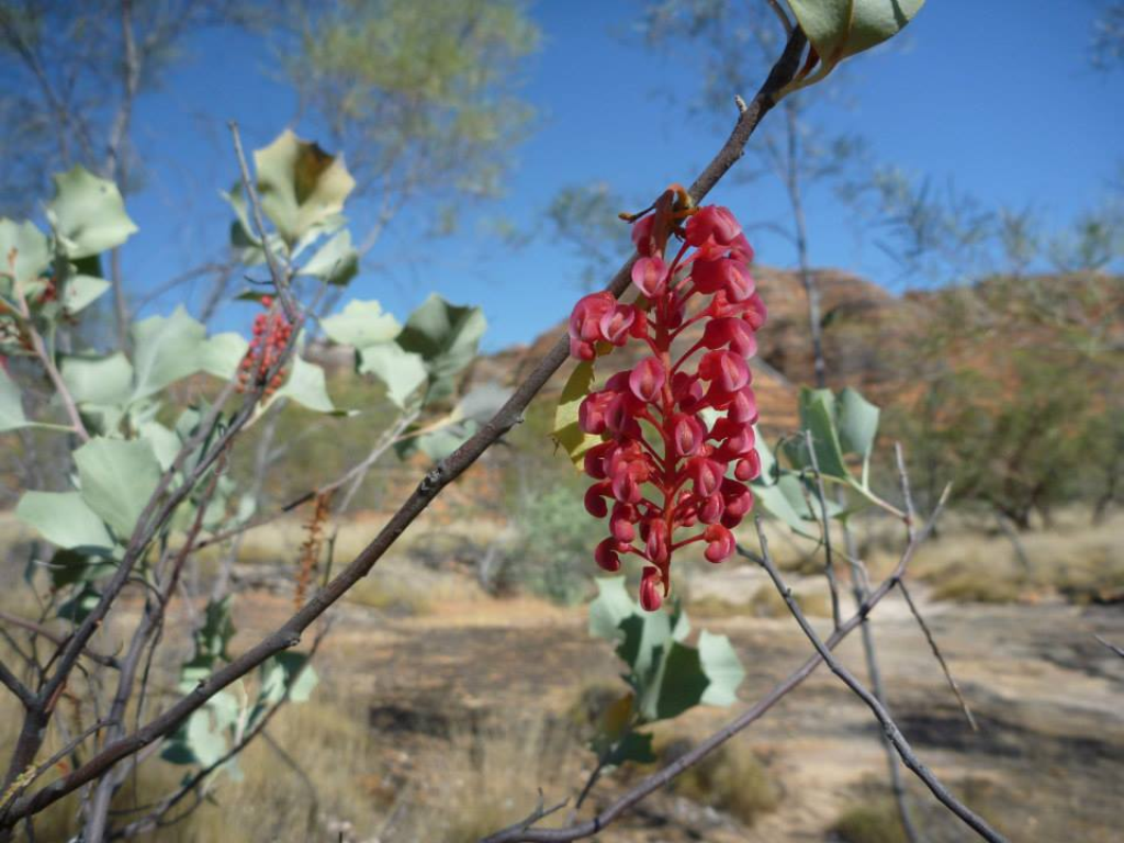 Grevillea in the Kimberleys